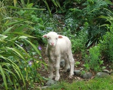lamb-phormium-grass